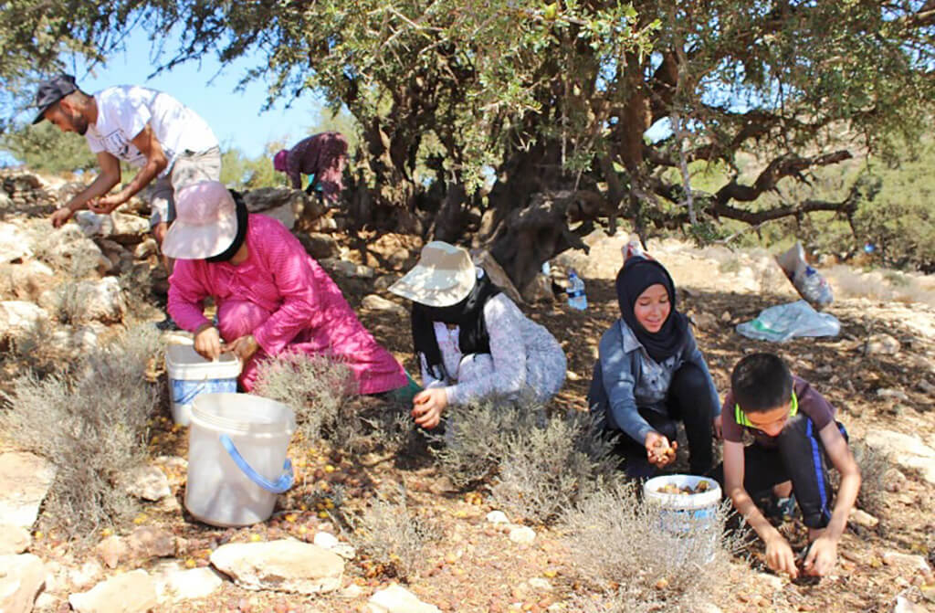 Argan nuts collected by hand