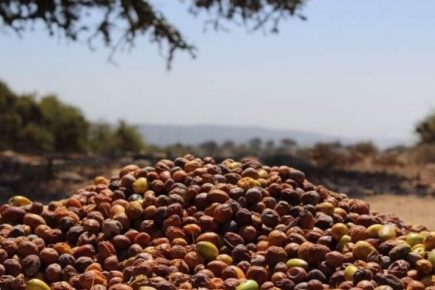 Organic Argan Oil Nuts
